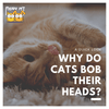 A Quick Look: Why Do Cats Bob Their Heads?