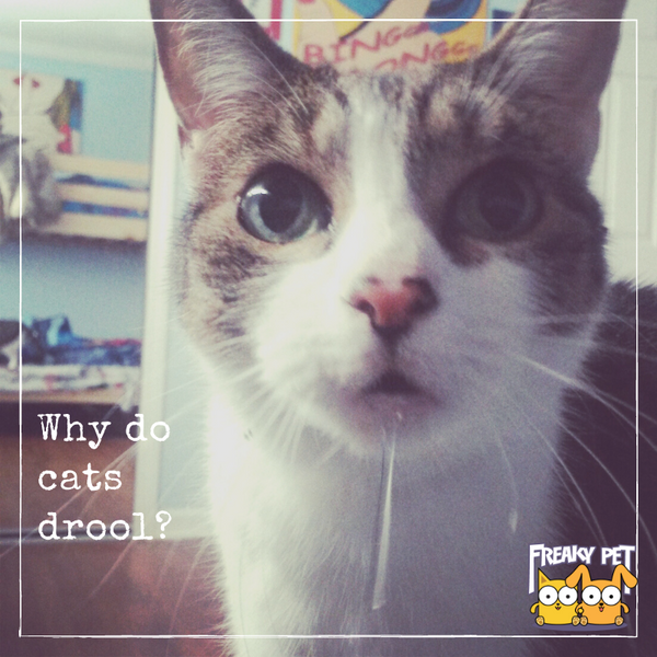 Why Do Cats Drool Is It Normal Freakypet