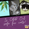 Does CBD Oil Work for Kitties?