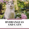 Are Hydrangeas Poisonous to Cats?