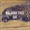 A Quick Look at the Malabar Civet Cat
