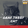 The Gray Tabby Cat