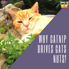 Why Does Catnip Drive Cats Crazy?