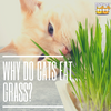Cat Eating Grass: Here's Why Your Kitty is Eating Grass.