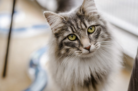 Natural Remedies For Flea And Tick Treatment In Cats Freakypet