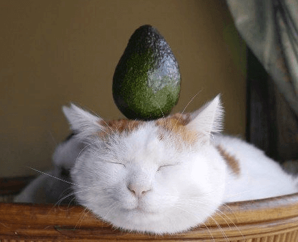 Can Cats Eat Avocados Freakypet