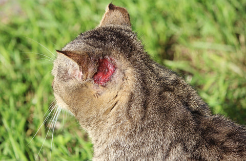 Causes Symptoms And Treatment What Is Mange In Cats