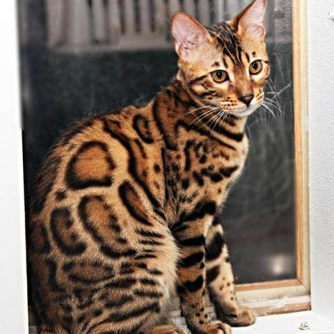 A Bengal Cats Personality Cat Breed 101: ...