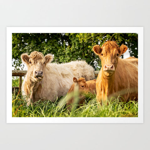 Highland Cow Family