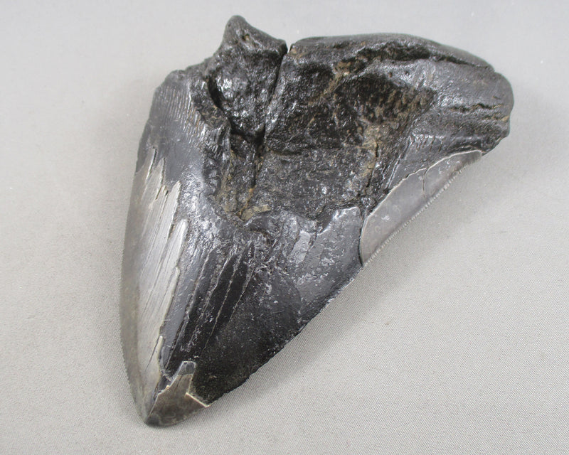 Megalodon Shark Tooth Fossil (Large) 1pc (E041-2)
