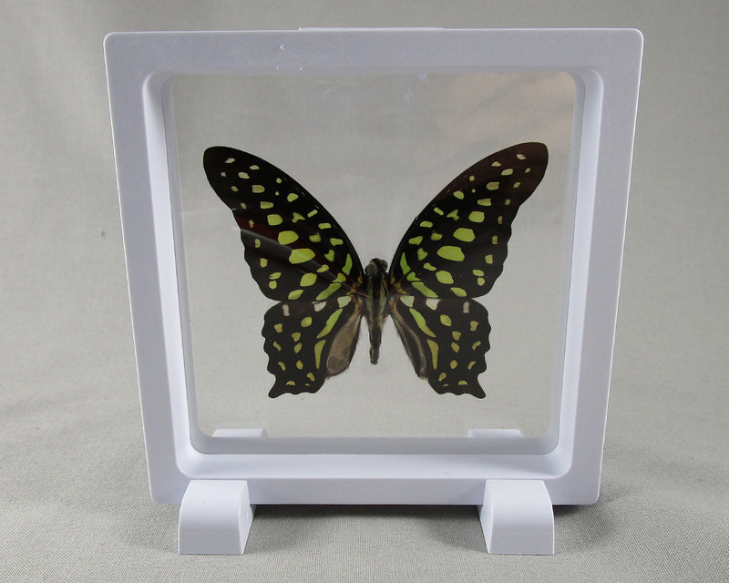 Tailed Jay Butterfly Picture - REAL BUTTERFLY ART  1pc