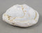 RARE - Opalized Fossil Clam 1pc B563-3