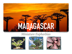 Madagascar Miniature Euphorbias-An Intro