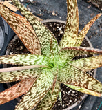 Aloe hybrid White Diamond