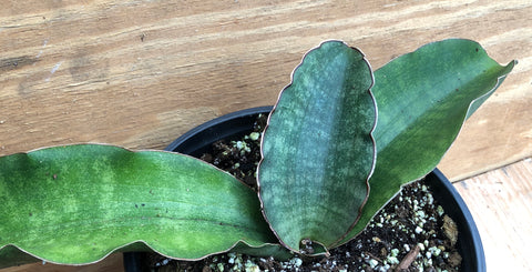 Sansevieria scimitarformis Blue