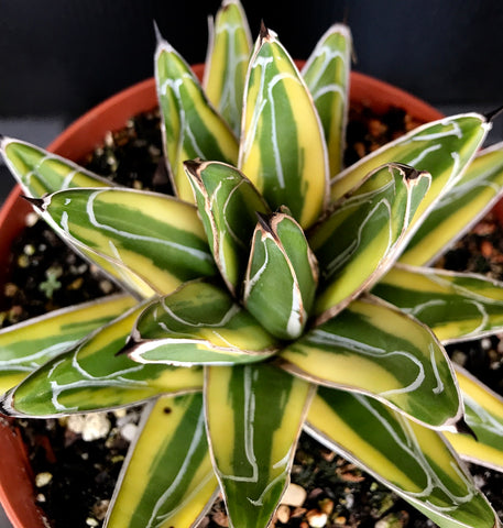 Agave victoria reginae Yellow Margins
