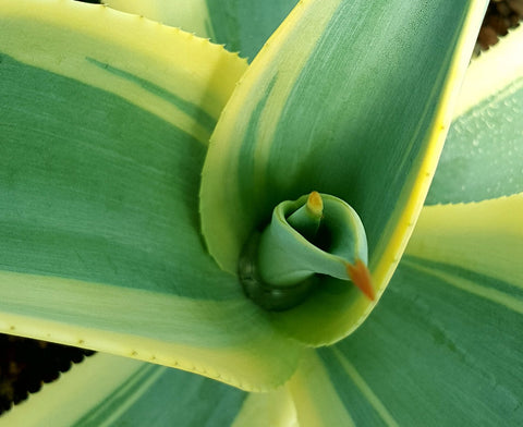Agave weberi 'Arizona Star'