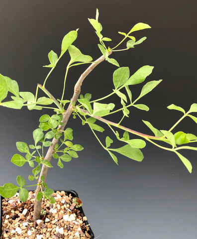 Commiphora campestris
