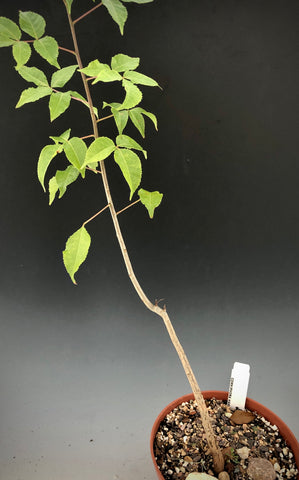 Commiphora harveyi