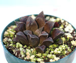 Haworthia 'Chocolate' hybrid