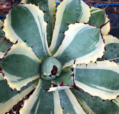 Agave potatorum 'Kissho Kan'