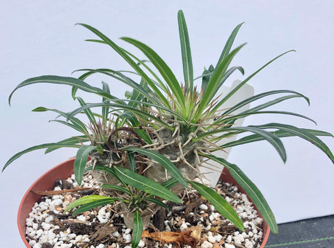 Pachypodium geayi super branched!