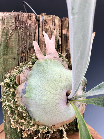 Platycerium veitchii Mounted Staghorn Fern