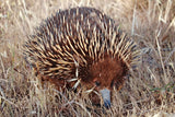 1975 to 1977 Australia 5 Cents coin pendant Echidna hedgehog spiny anteater Erinaceidae Monotreme Aussie Canberra Australian cute n000135