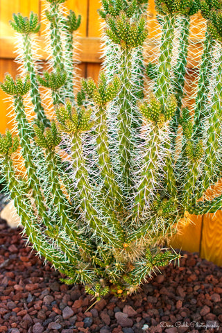 Cholla Cactus (Cylindropuntia whipplei) - Stem/Cutting