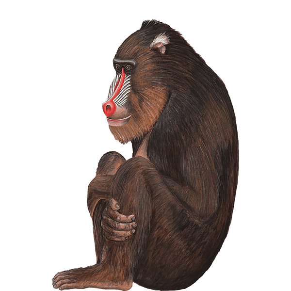large monkey sticker, Baboon decal for Jungle themed murals