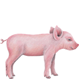 Pig Farm Animal Wall Decal Sticker