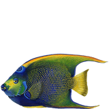 Queen Angelfish Sea Life Wall Decal Sticker