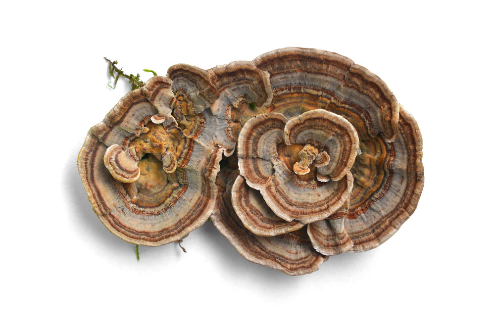 Load image into Gallery viewer, Turkey Tail Mushroom
