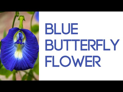 Load and play video in Gallery viewer, Blue Butterfly Flower