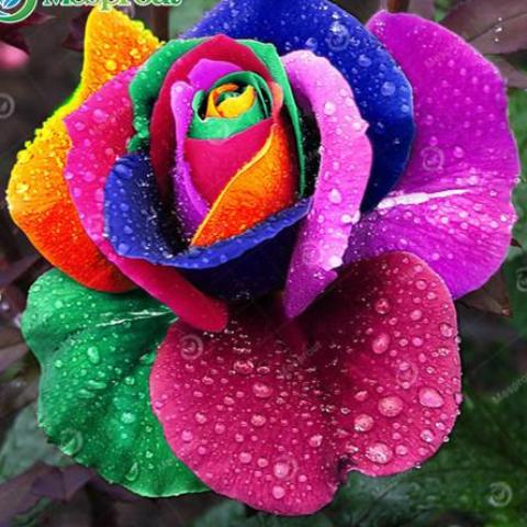 100PCS Flower Seed Holland Rainbow Rose Seed