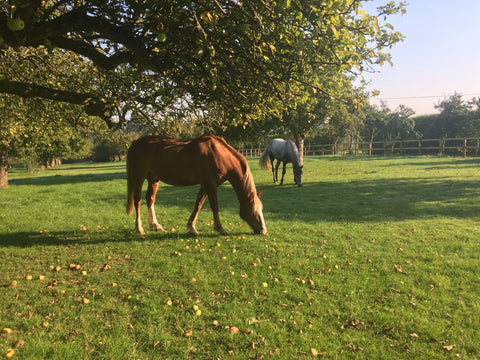 Horses grazing in autumn sunshine