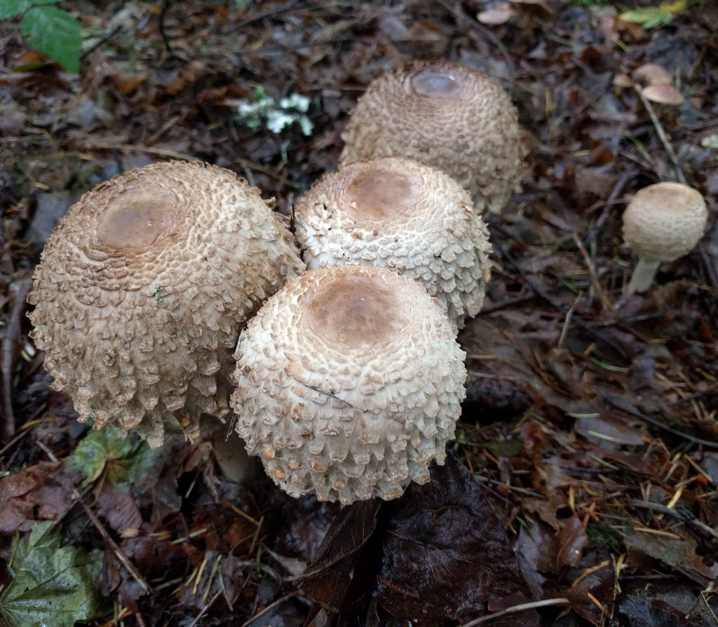 Shaggy Parasols! Grow them in your own back yard ...