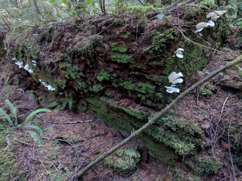 Angel Wings mushrooms on large decaying fir log