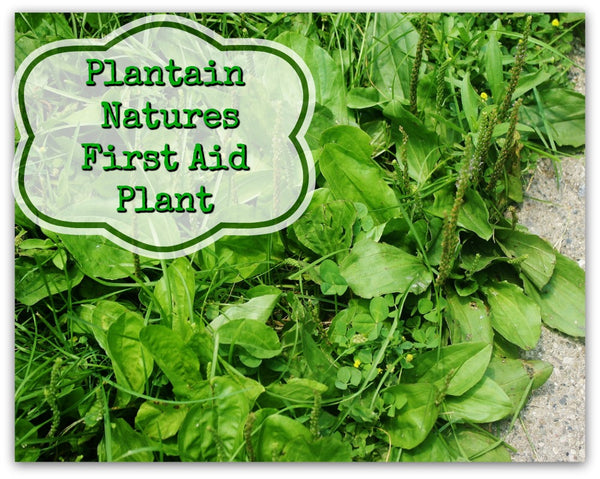 Plantain: Natures First Aid Plant