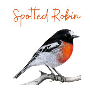 Spotted Robin