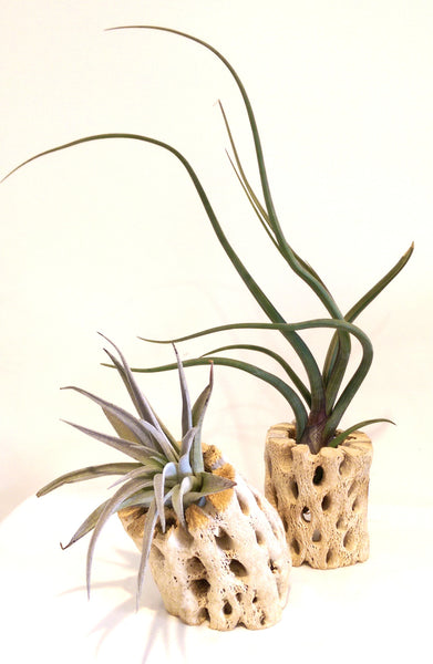SMALL AIR PLANT