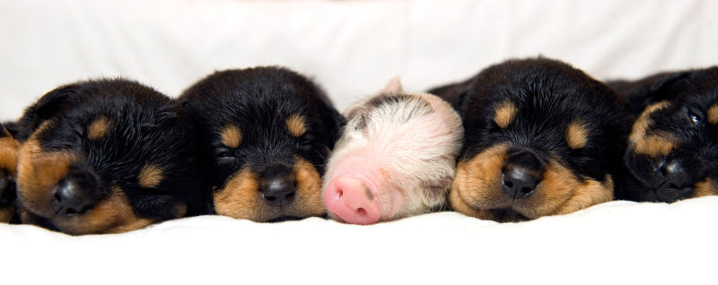 puppies and pig