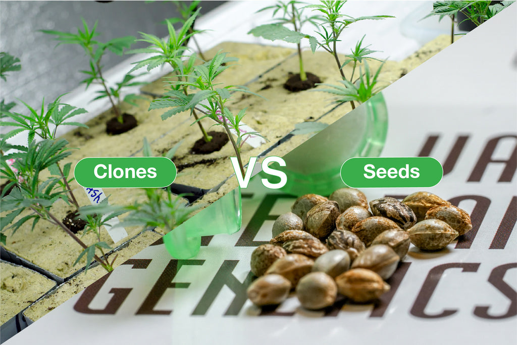 The Difference Between Cannabis Seeds and Clones