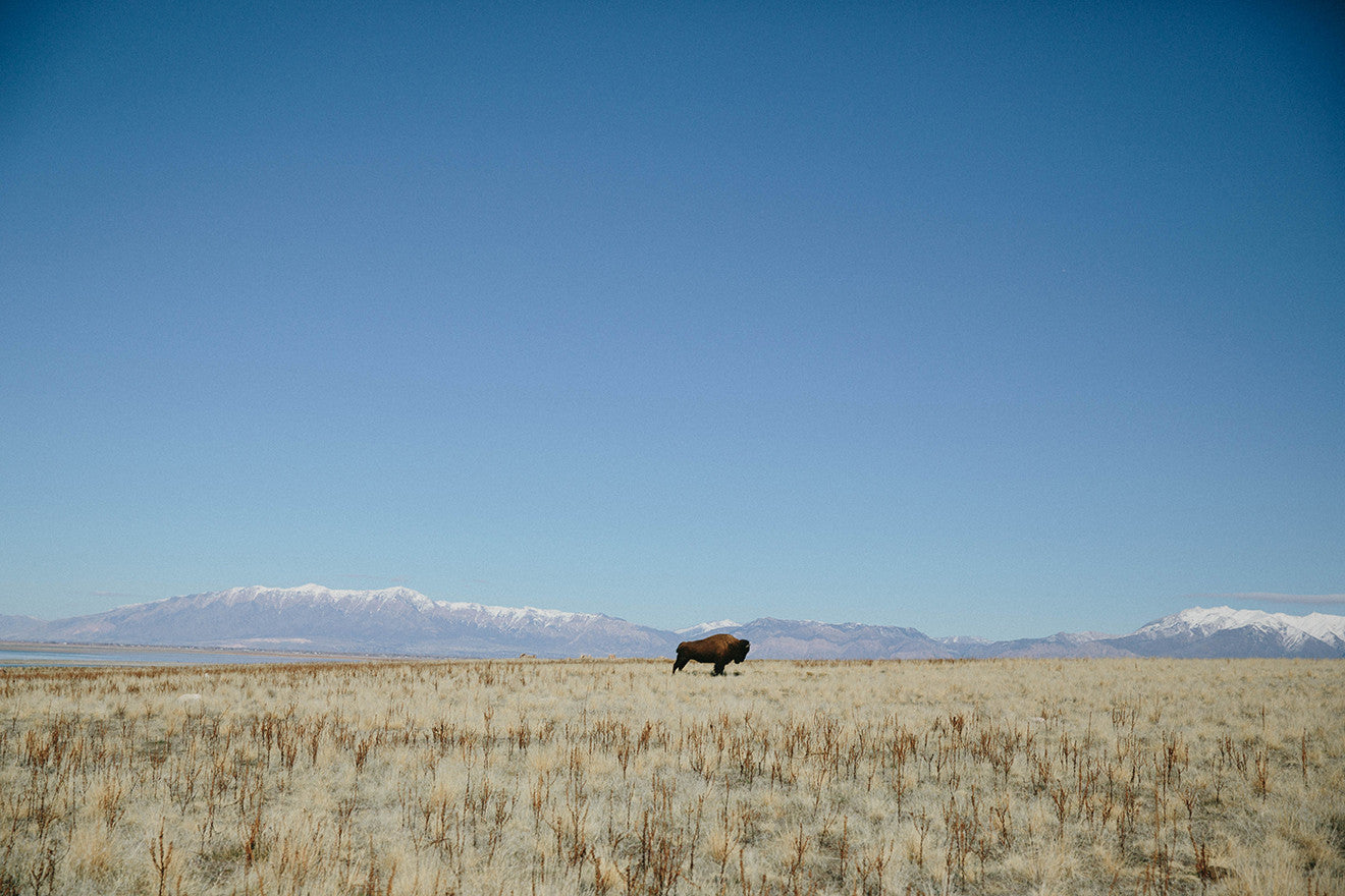 Photographic Print | Bison