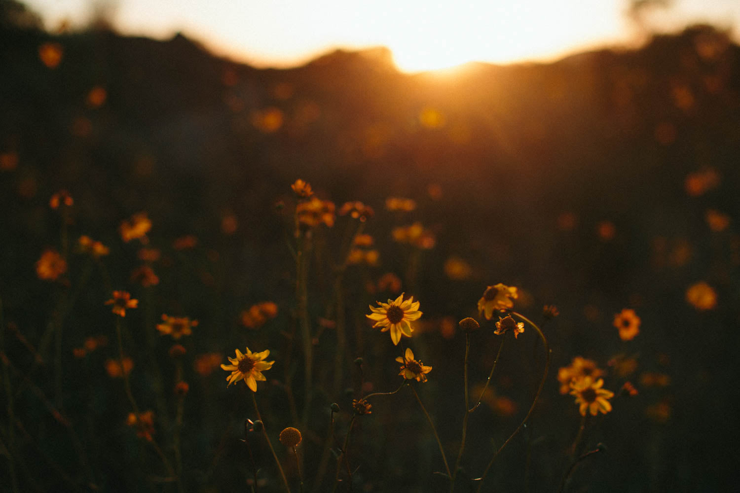 Photographic Print | Wildflowers at sunset