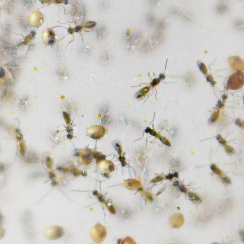 Aphidius colemani - Targets cotton (melon) aphids, aphis gossypii, green peach aphids and more