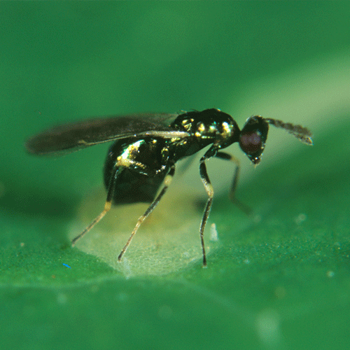 Diglyphus Isaea - Targets several species of leafminer pests