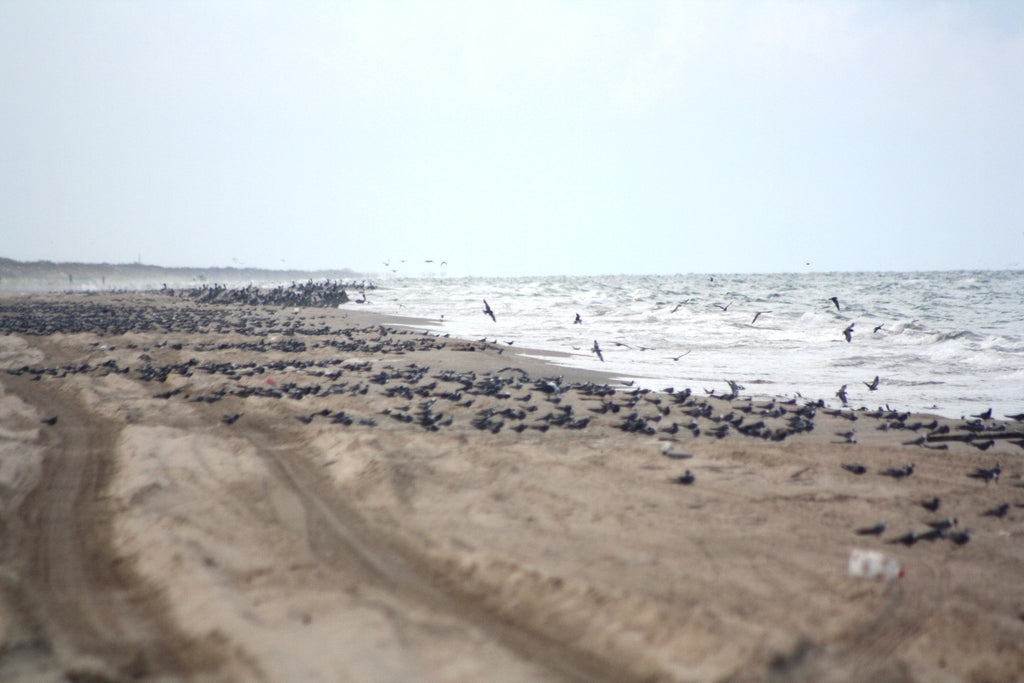 Friends of Padre Beach Report  8/17/2015