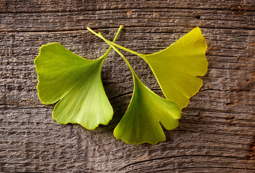EVERYTHING YOU NEED TO KNOW ABOUT GINKGO BILOBA