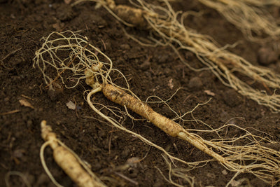 EVERYTHING YOU NEED TO KNOW ABOUT SIBERIAN GINSENG
